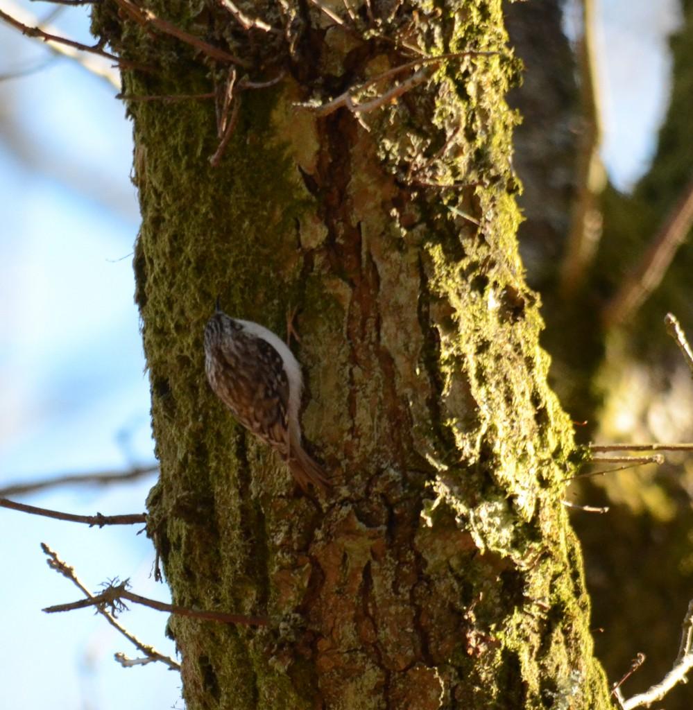 Trädkrypare 1