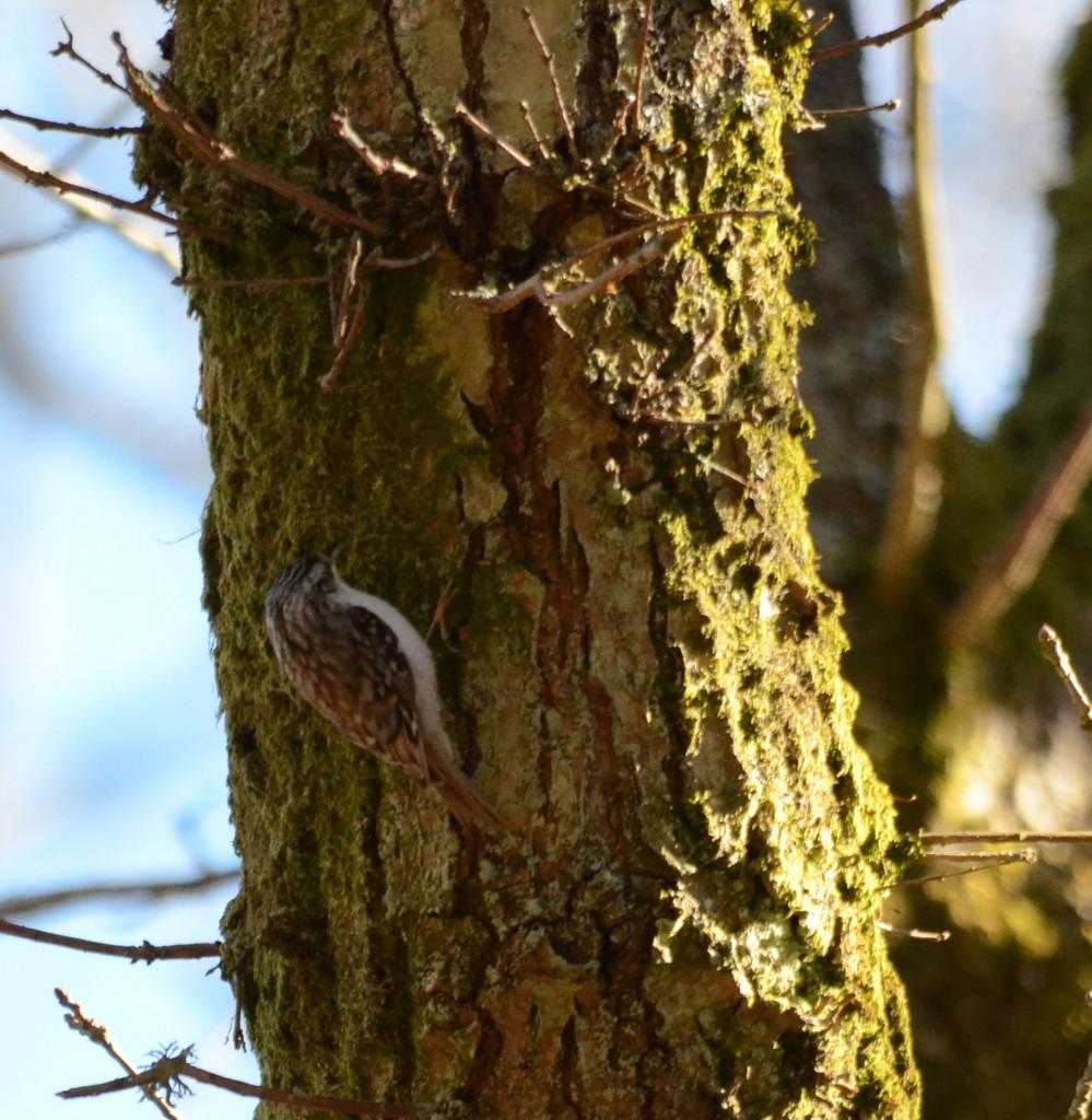 Trädkrypare 3