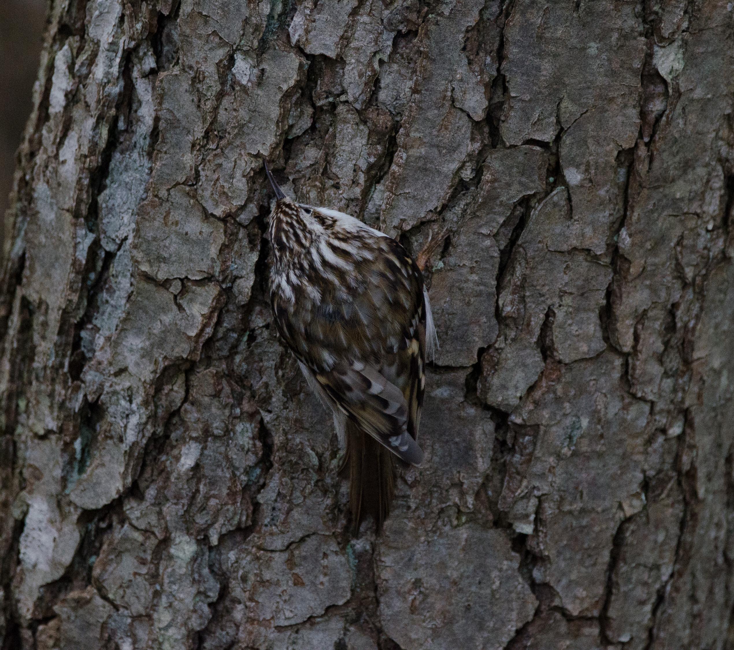 Trädkrypare 5