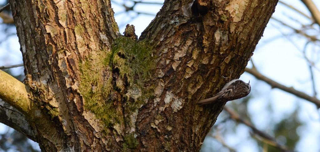Trädkrypare9