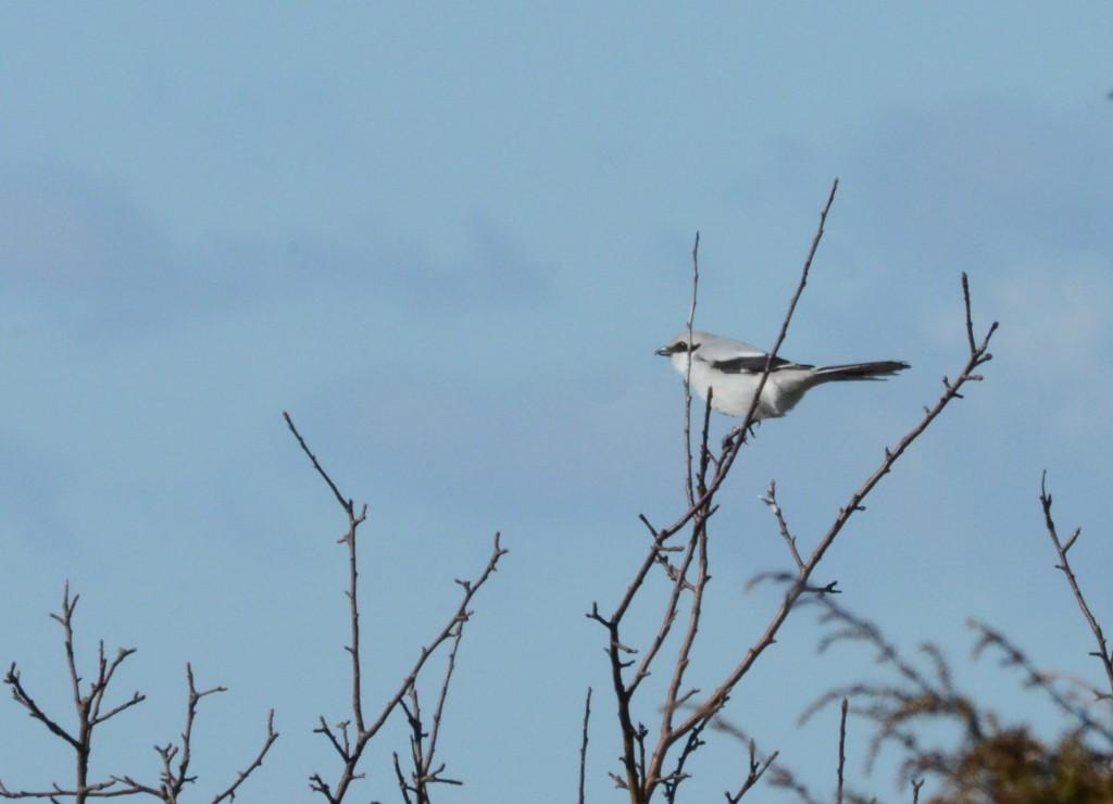 Varfågel 1
