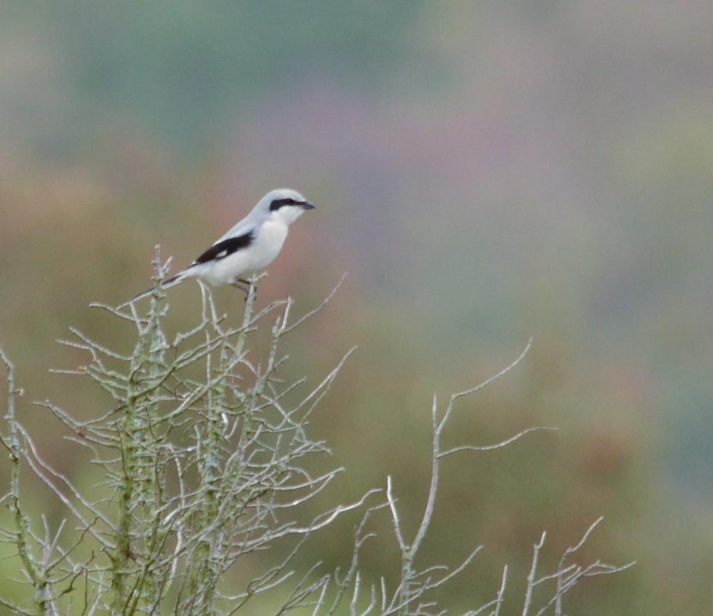 Varfågel 3