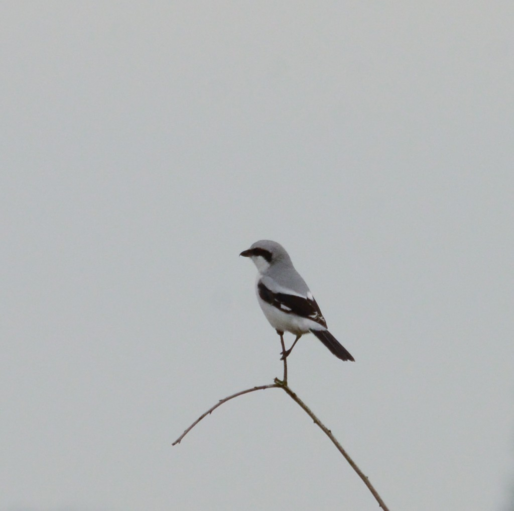 Varfågel 4