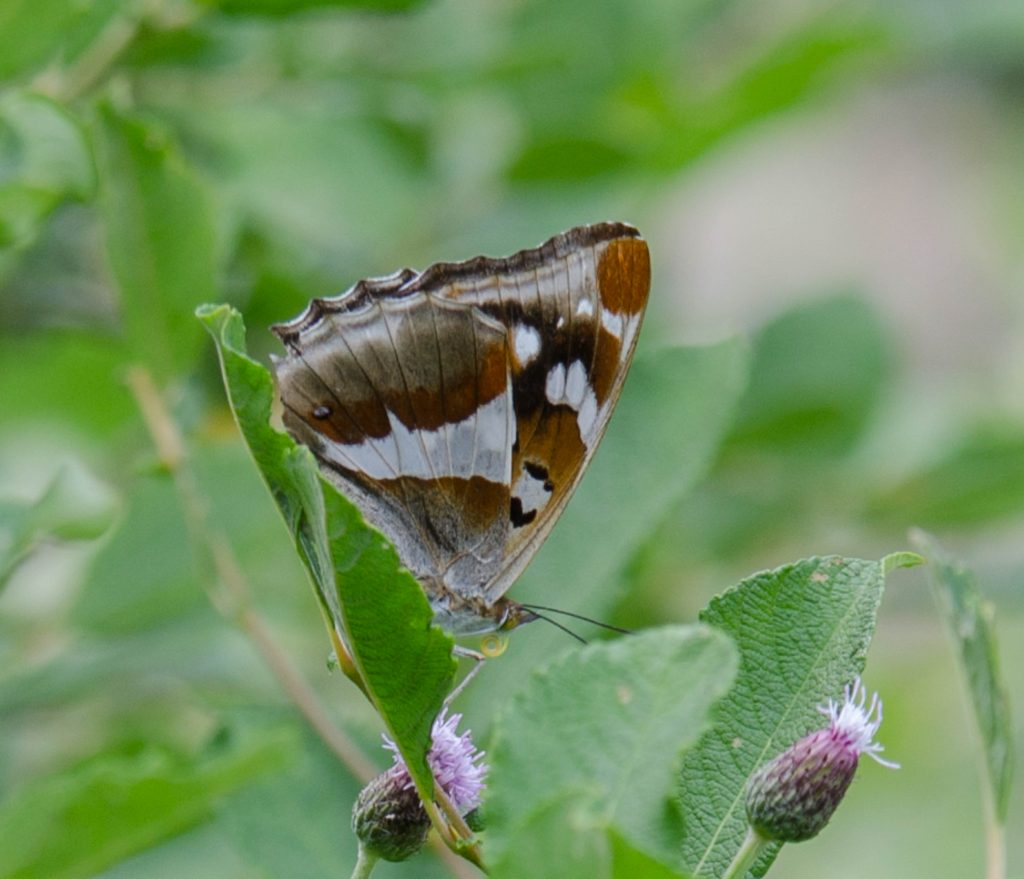 http://www.realtimepartner.com/rtp/dagfjarilar-butterflies/salgskimmerfjaril/